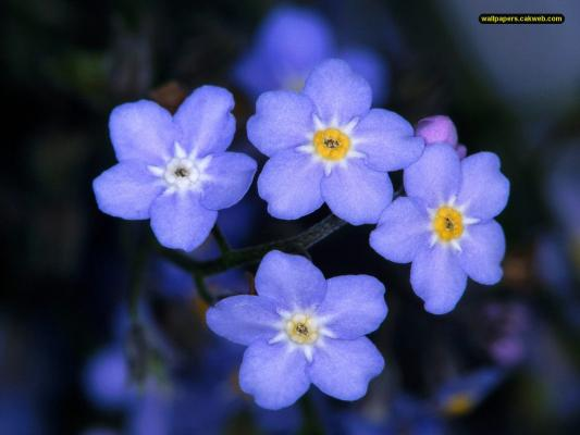 The forget-me-not flower has become the symbol for International Missing Children's day