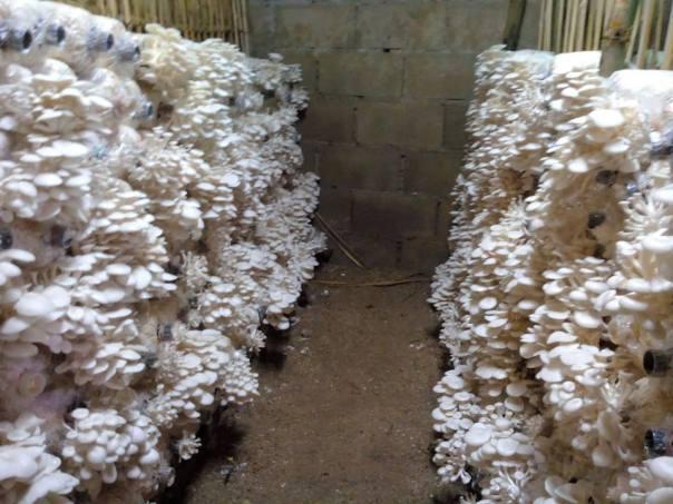 mushroom plantation